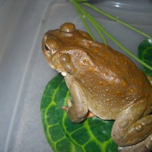 bufo toad venom for sale