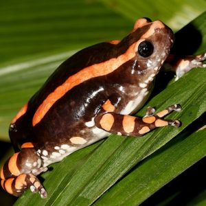 bifasciatus toad venom for sale